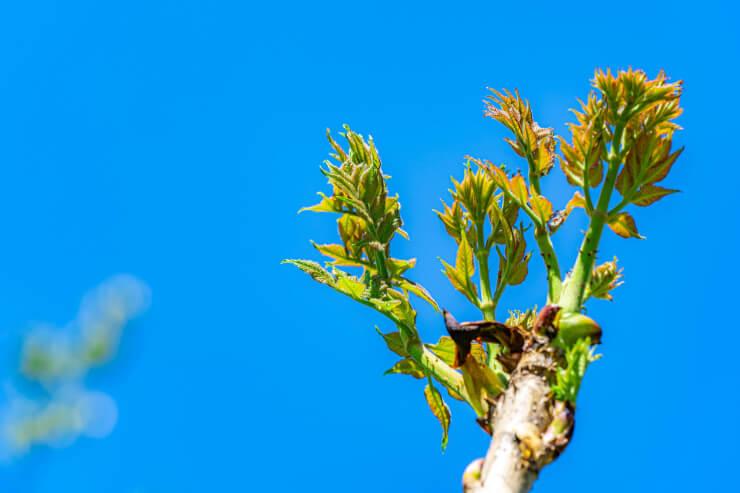 タラの芽の旬