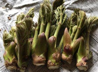 タラの芽の下処理方法